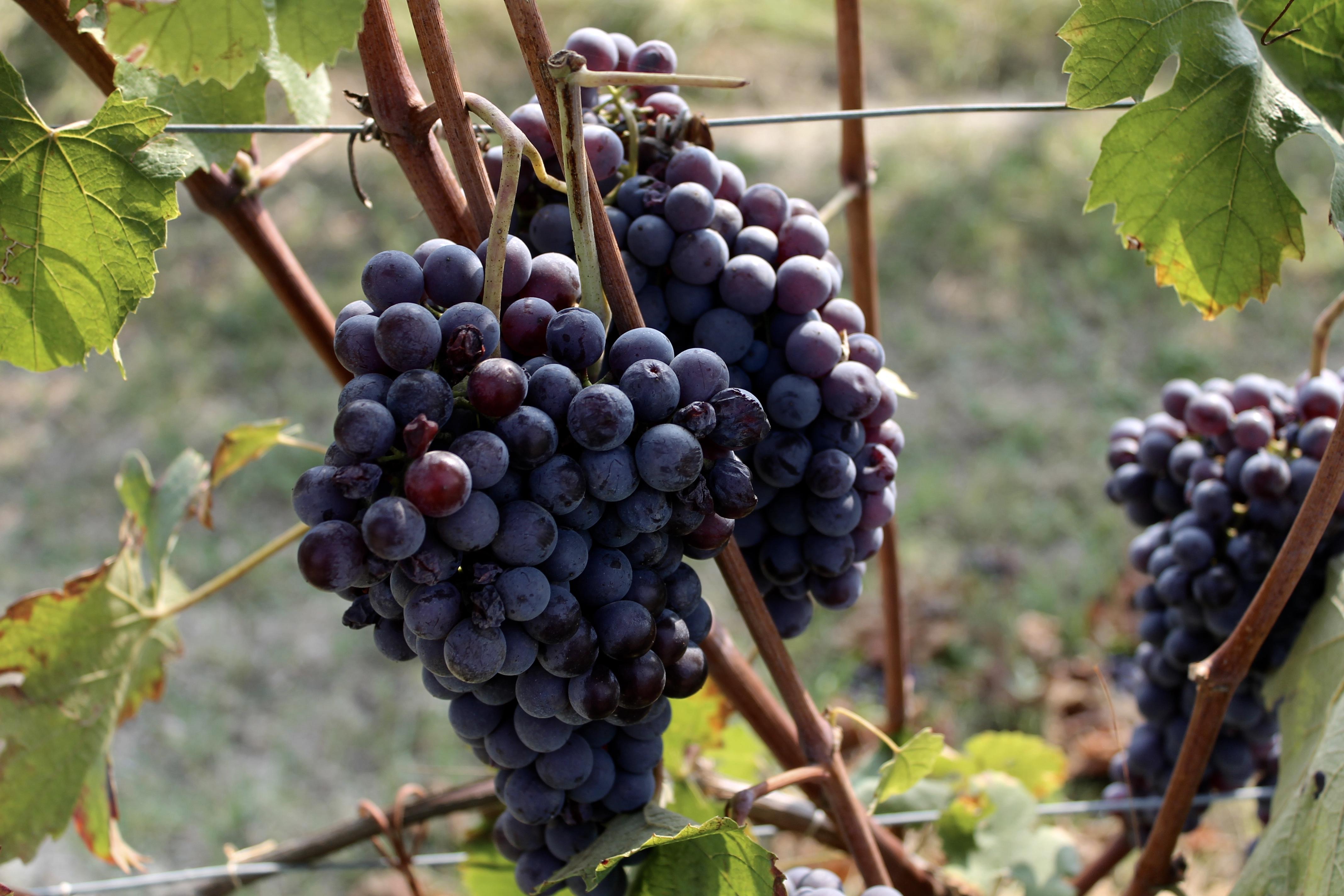 Grape Varieties in Barolo - Piemonte Girl